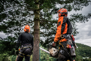 two arborists prep before cutting down a medium-sized tree